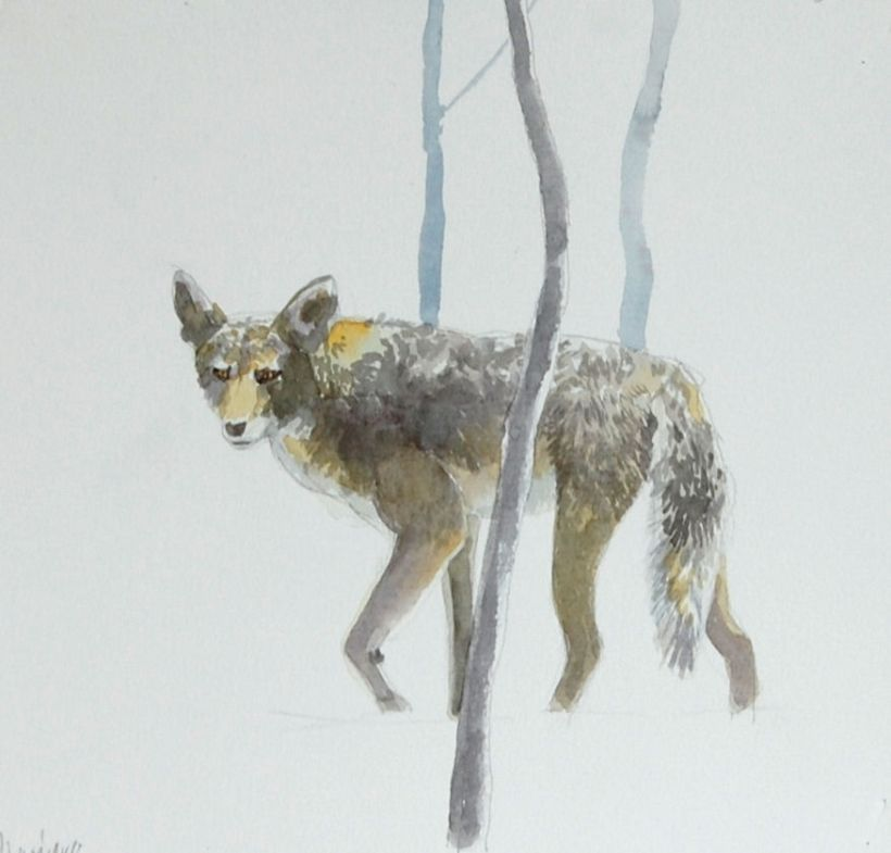 Coyote(1)